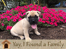 African Boerboel Puppies for sale in Lancaster, PA