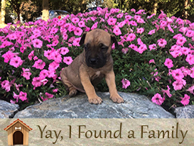 Airedale Puppies for sale in lancaster pa
