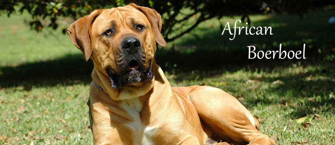 African Boerboel Puppies for sale in Lancaster PA