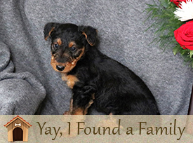 airedale terrior Puppies Lancaster, PA